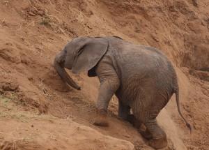 elephant_Uphill_struggle