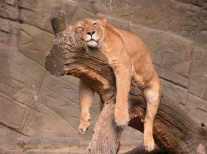 lion-resting